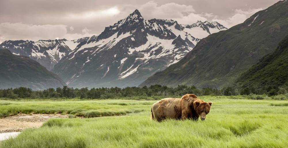 Alaskan Grizzly Bear walking through long grass in valley surrounded by snow covered mountains.