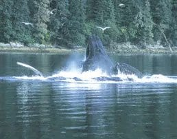 Whale breaching water.